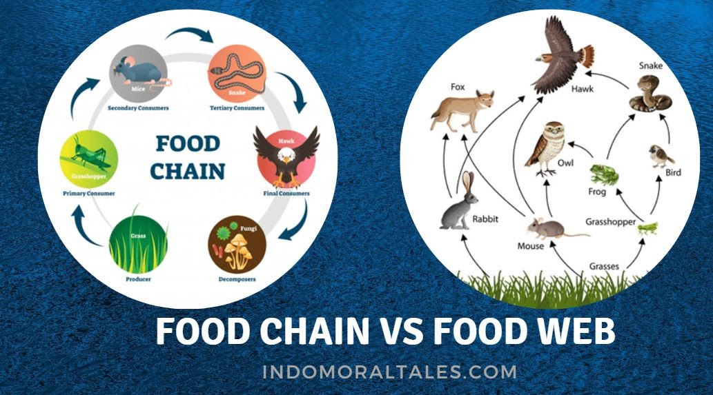 Difference Between The Food Chain and The Food Web?